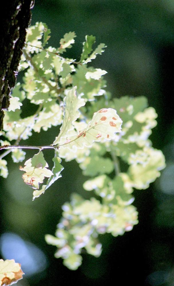 Oak leaves 9.03
